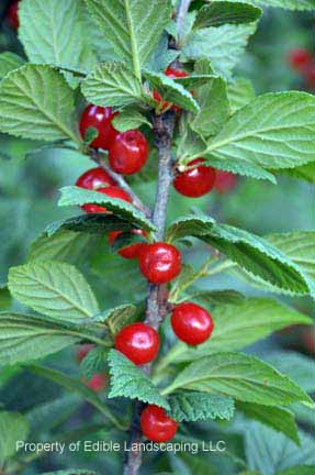 Cherry Red Nanking Fruit on Plant